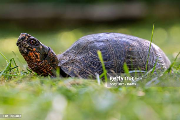 box turtles (terrapene) in grass - box turtle stock pictures, royalty-free photos & images