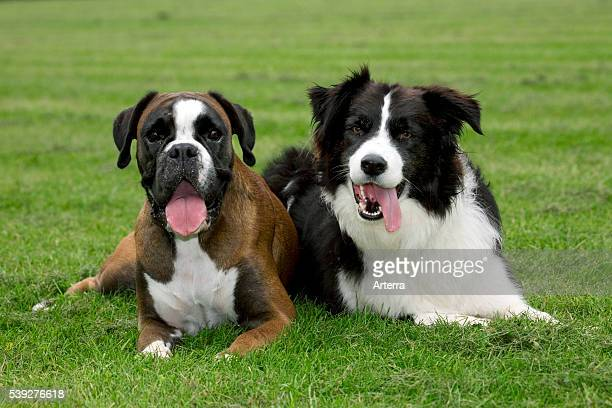 Boxer and Border collie lying next to each other on on lawn in garden