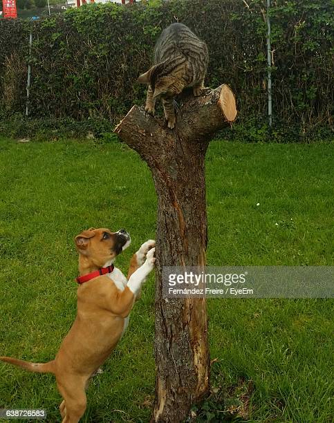 Boxer Chasing Cat On Tree Trunk