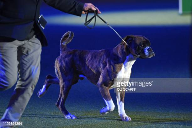 Boxer Dave is shown at the Best in Show event on the final day of the Crufts dog show at the National Exhibition Centre in Birmingham central England...