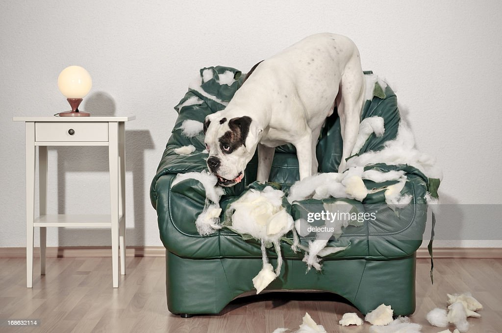 Perro Boxer destruye silla de cuero : Foto de stock