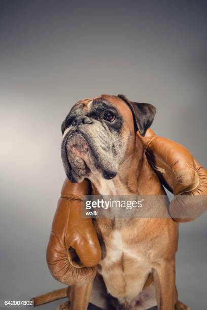 boxer dog holding an old boxing gloves. - boxer dog stock pictures, royalty-free photos & images