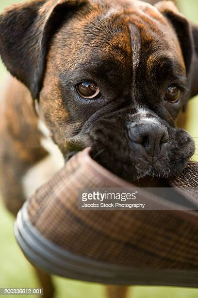 e8dc4c40c Boxer dog holding slipper in mouth
