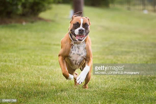 Boxer Dog in Action