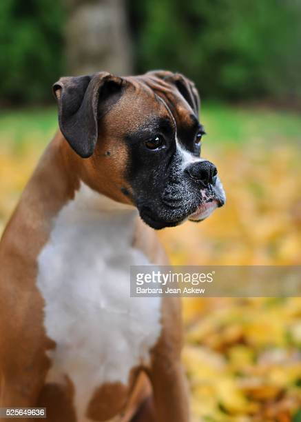 Boxer Dog in Fall Leaves