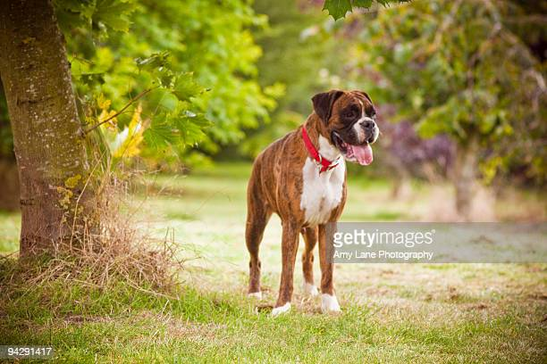 boxer dog in the park - boxer dog stock pictures, royalty-free photos & images