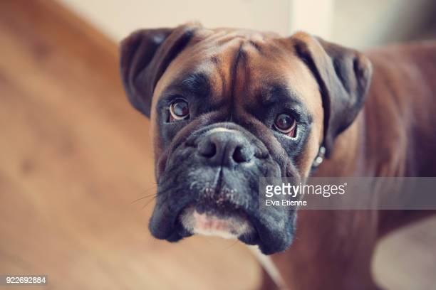 Boxer Dog Stock Photos And Pictures