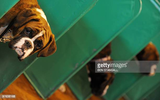 A Boxer Dog is pictured at the Crufts Dog Show in Birmingham central England on March 11 2010 The annual event sees dog breeders from around the...