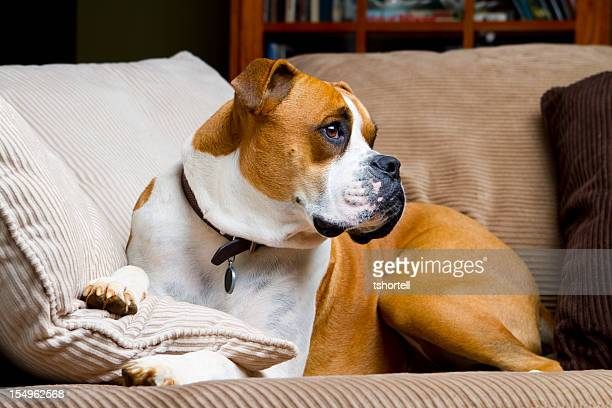 Boxer Dog Laying on a Couch