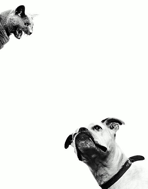 Boxer dog looking at cat above head, close-up (B&W)