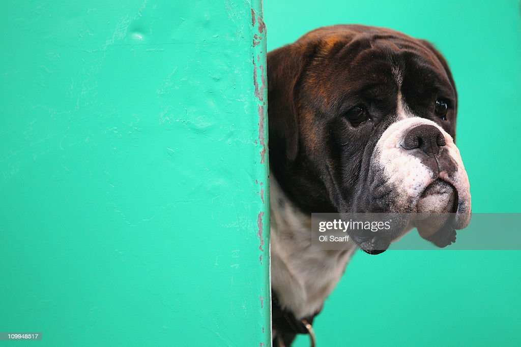 A boxer dog looks out of its stall on the second day of the annual Crufts dog show at the National Exhibition Centre on March 11, 2011 in Birmingham, England. During this year's four-day competition nearly 22,000 dogs and their owners will vie for a variety of accolades, ultimately seeking the coveted 'Best In Show'.