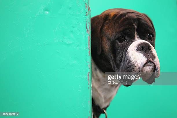 A boxer dog looks out of its stall on the second day of the annual Crufts dog show at the National Exhibition Centre on March 11 2011 in Birmingham...