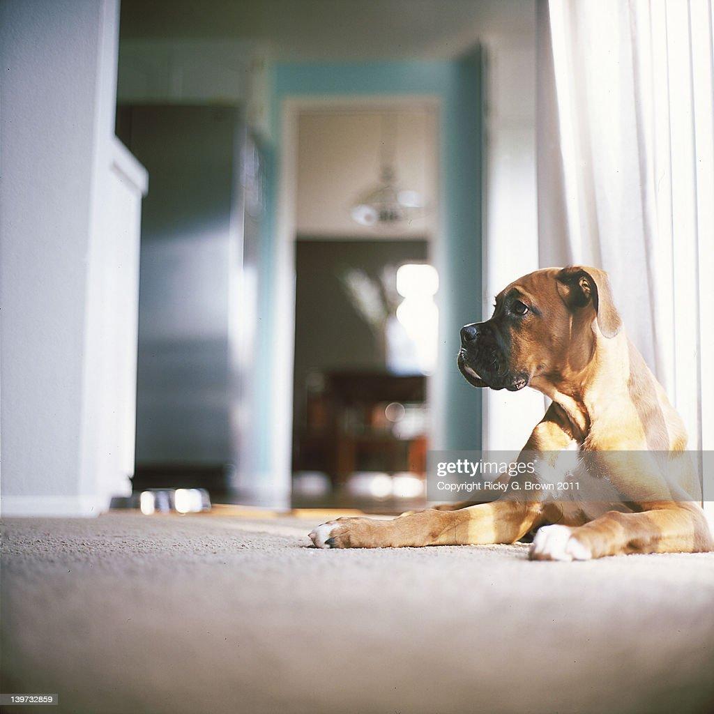 Boxer dog lying down : Stock Photo