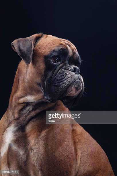 Boxer dog on black looking right side.