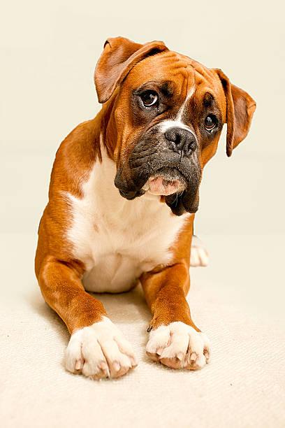 Boxer Dog On Ivory Backdrop Wall Art