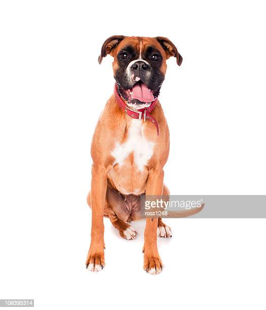 boxer dog - boxer dog stock pictures, royalty-free photos & images