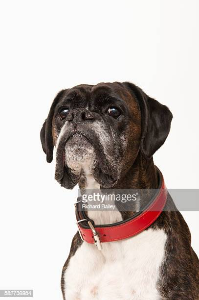boxer dog - collar stock pictures, royalty-free photos & images