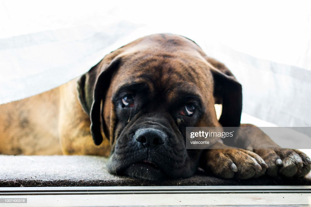 Boxer dog portrait : Stock Photo