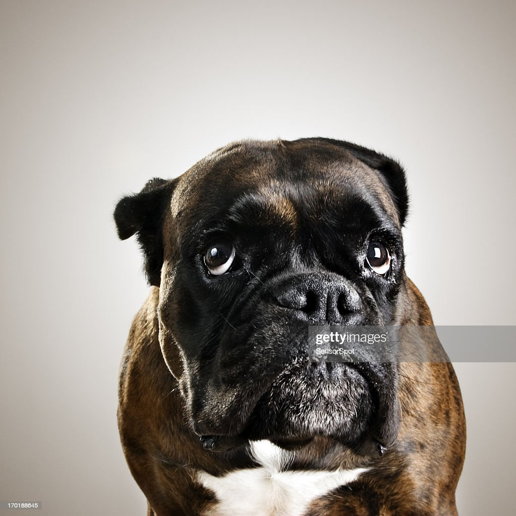 Boxer Dog Portrait High-Res Stock Photo - Getty Images