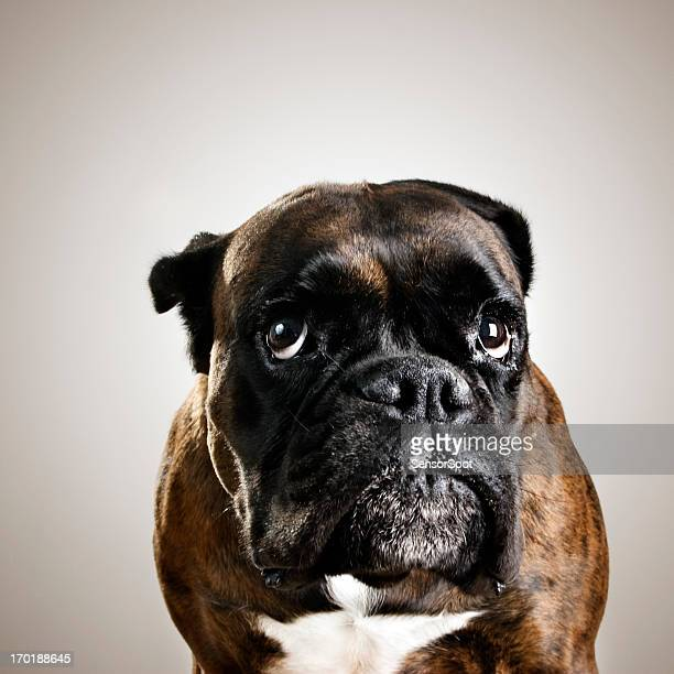boxer dog portrait - ugly dog stock photos and pictures