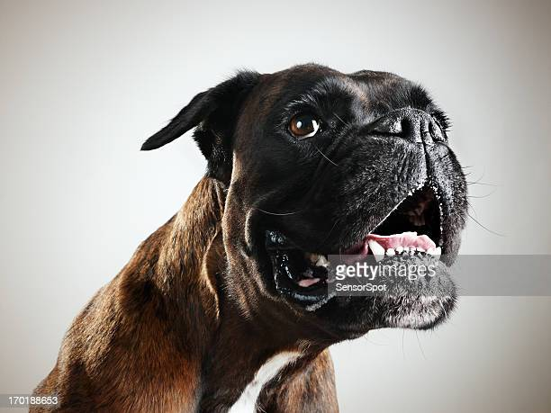 boxer dog portrait - ugly dog stock pictures, royalty-free photos & images