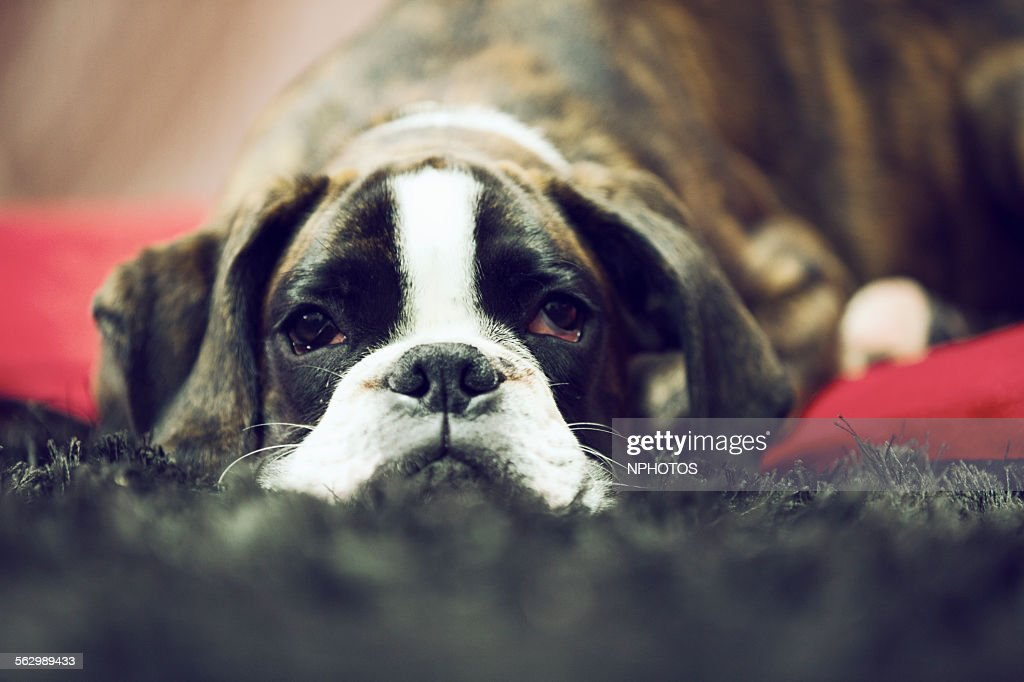 Boxer dog resting on the carpet : Stock Photo
