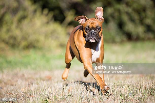 Boxer Dog Running Outdoors
