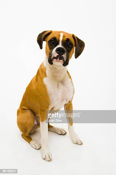 Boxer dog sitting down on the floor