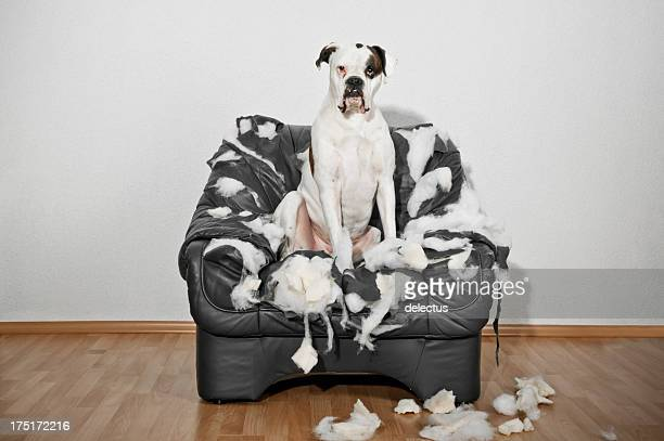boxer dog sitting in a destroyed leather chair - destruction stock pictures, royalty-free photos & images