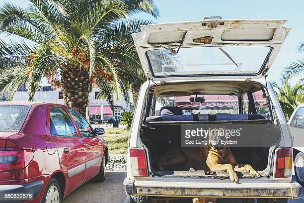 Boxer Dog Sitting In Car Trunk
