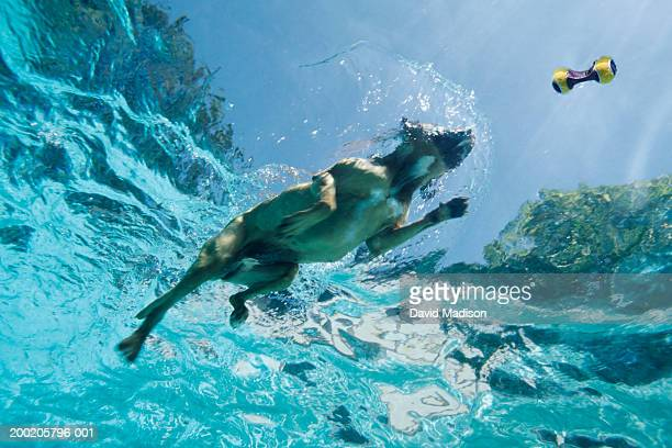 Boxer dog swimming after toy in pool, underwater view