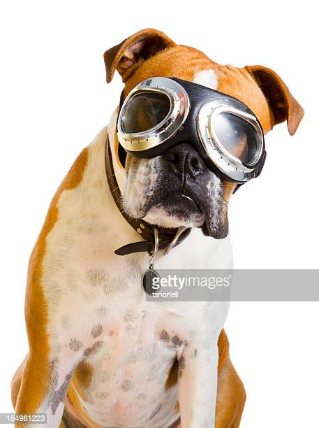boxer dog wearing goggles - flying goggles stock pictures, royalty-free photos & images