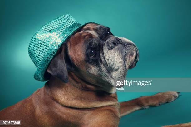 boxer hond dragen feest hoed. - stunt stockfoto's en -beelden