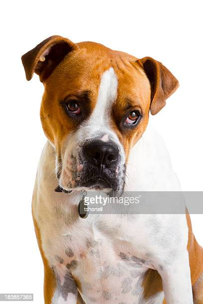 Boxer Dog With Sad Expression