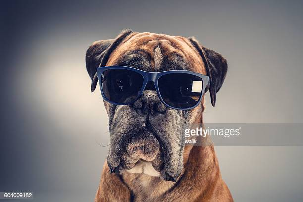 Boxer dog with sunglasses looking ahead.