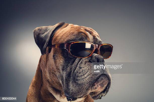 Boxer dog with sunglasses
