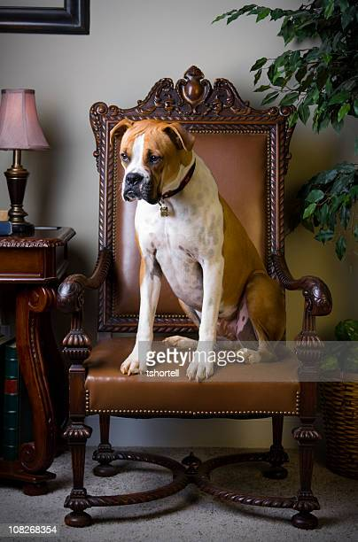 Boxer in a fancy chair