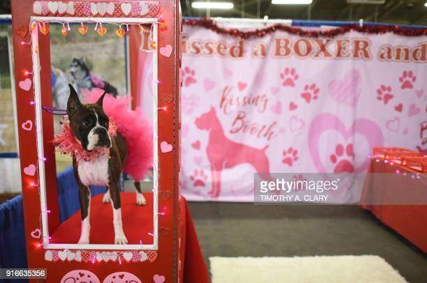 A Boxer is seen in a kissing booth during the 9th AKC Meet The Breeds on February 10 2018 in New York at the 142th Annual Westminster Kennel Club Dog...
