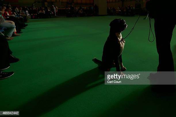 Boxer is waits for a command as it competes with its owner on the second day of Crufts dog show at the National Exhibition Centre on March 6 2015 in...
