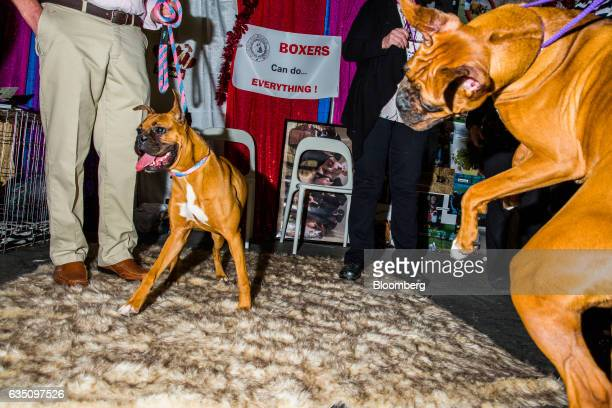 A Boxer leaps in play near another dog during the annual Meet the Breed event ahead of the 141st Westminster Kennel Club Dog Show in New York US on...