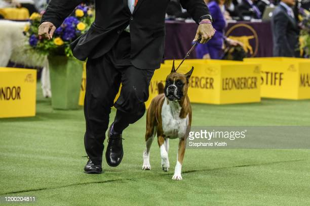 Boxer named Wilma wins the Working Group during the annual Westminster Kennel Club dog show on February 11, 2020 in New York City. The 144th annual...