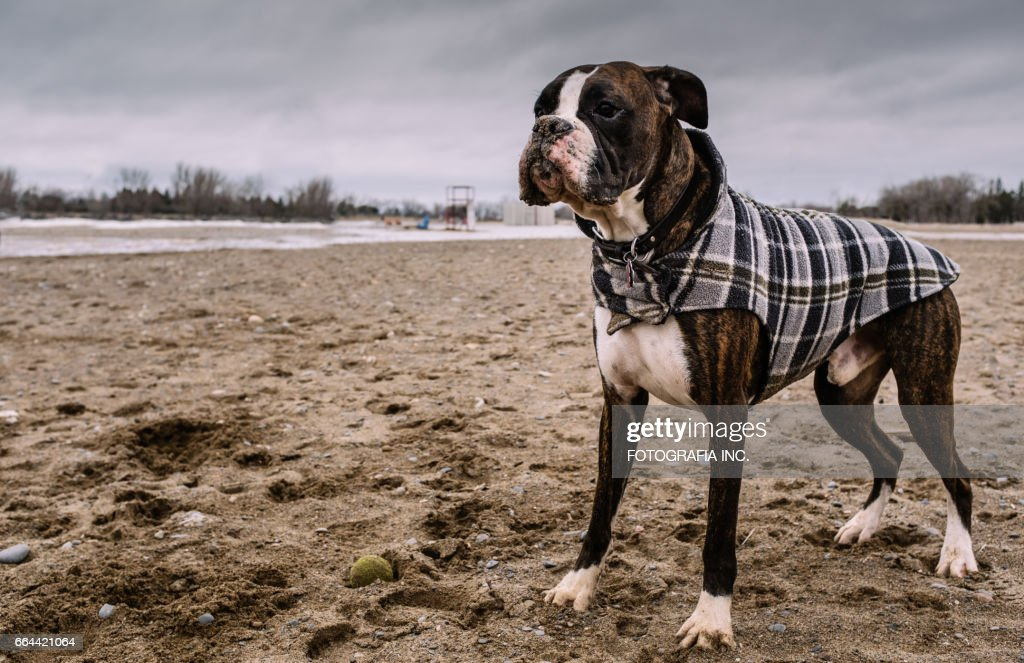 Boxer am Strand : Stock-Foto