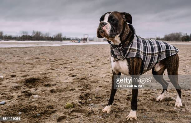 boxer on the beach - coat stock pictures, royalty-free photos & images
