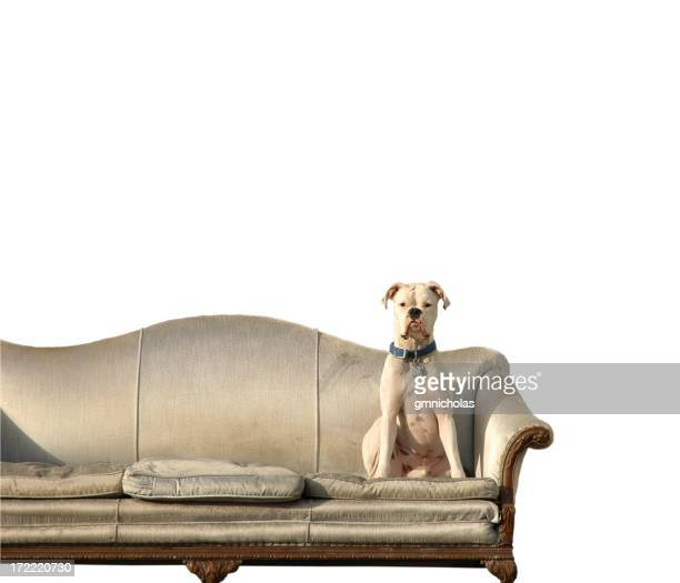 Boxer on the couch
