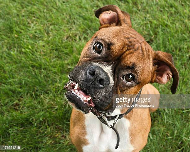 boxer - boxer dog stock pictures, royalty-free photos & images