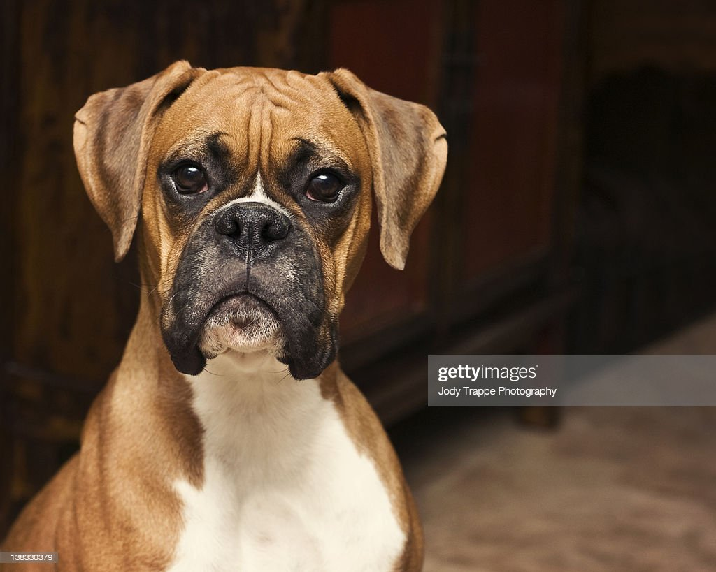 boxer dog stock photos and pictures getty images