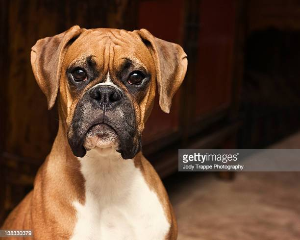 boxer pup - boxer dog stock pictures, royalty-free photos & images