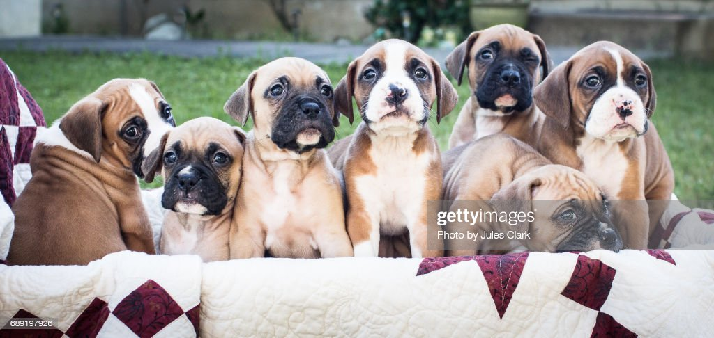 Boxer Puppies in a wagon : Stock Photo
