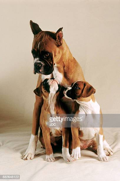boxer puppies with mother - animal family stock pictures, royalty-free photos & images