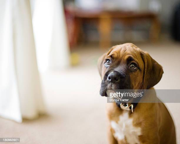 boxer puppy - boxer dog stock pictures, royalty-free photos & images